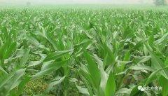玉米生长异常可能是出了这些问题!