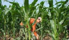 玉米怎样追肥最高产?近期谨防三种病