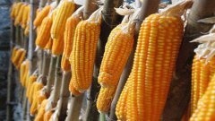 新玉米将上市,今年价格高于去年