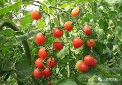 只卖西红柿一年就能赚一亿,农业还是