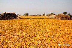 """再创新高,玉米已到1700元/吨,揭秘上涨背后""""真"""