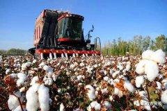 今年全国棉花种植面积或小幅增加,谨防价低伤