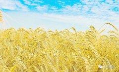 今年麦种要涨价,每斤将比去年高0.15元!