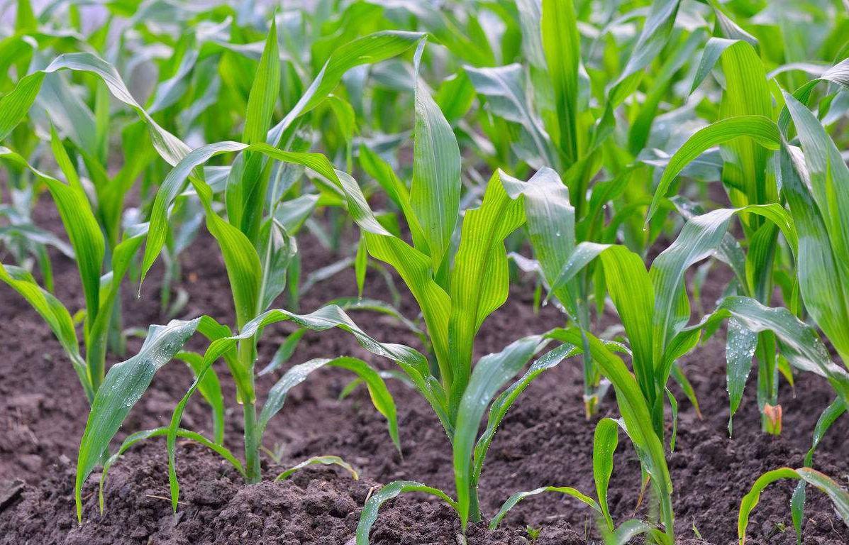 农业专家提醒抓紧防治玉米褐斑病