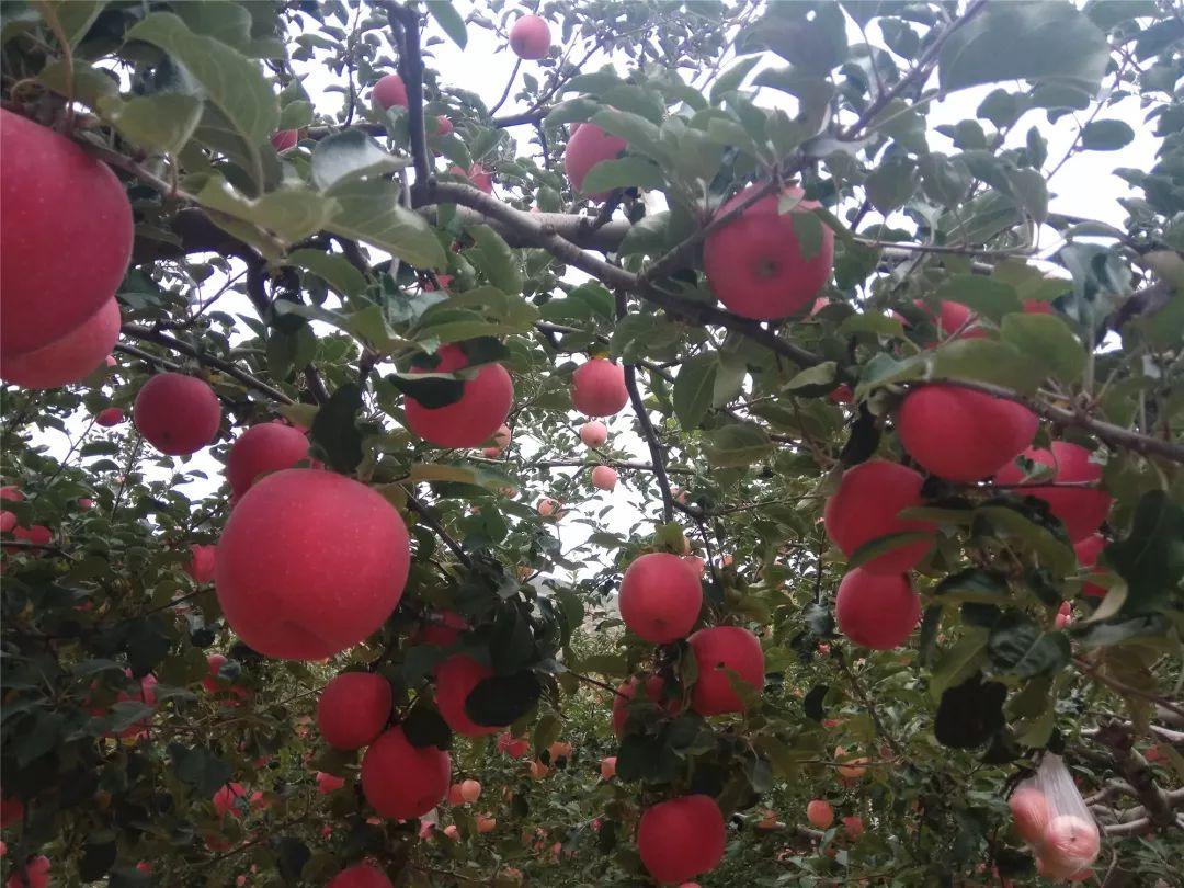 苹果产区减产严重,却是TA的精心管理创品质年!