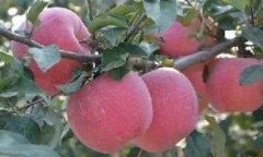 如何正确对苹果树进行补钙?