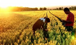 小麦干热风发生在什么时节?如何防治?