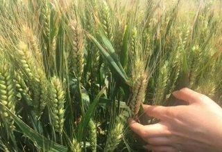 小麦中后期病虫害这样防治,才更有效!