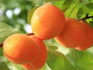 杏果储藏注意事项