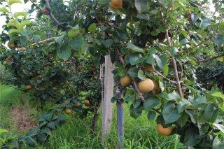 梨行情今年不如去年,农民收益怎样才更有保障?