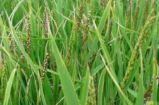 当前中晚稻主要病虫害发生动态及防治措施