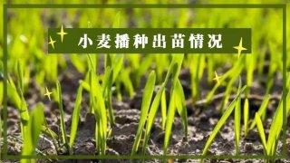 【画说三农】小麦苗黄、苗弱?原因找到