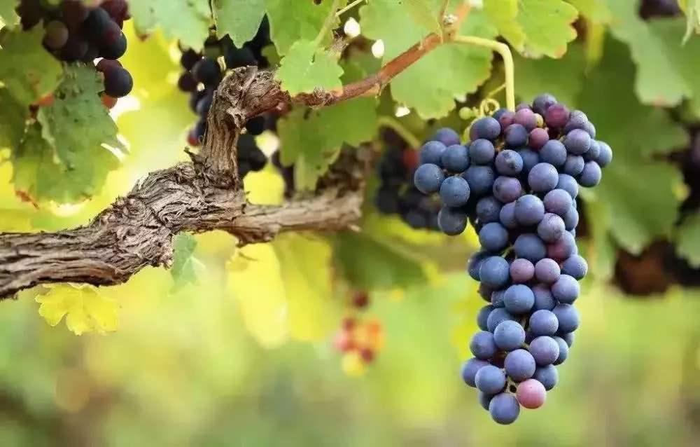 春季葡萄种植管理 【视频】