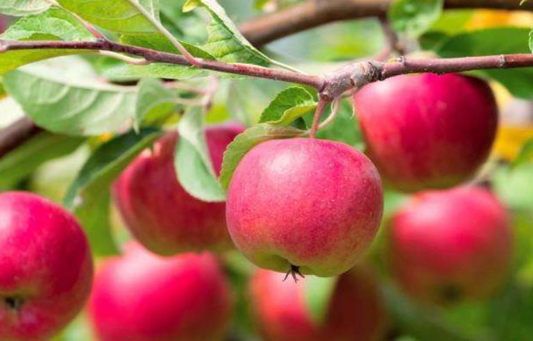 苹果树为什么要施花前肥【视频】