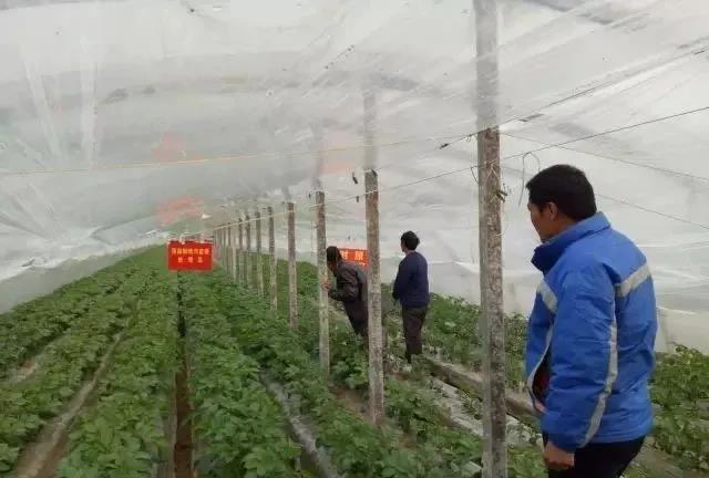 马铃薯种植3-4月份应该关注的问题【视频