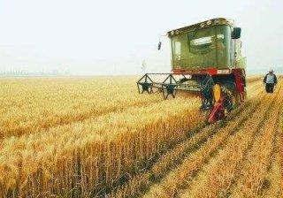 今年小麦产量、价格如何?