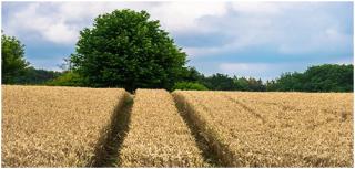 诺安小麦专用肥花开晋鲁冀大地