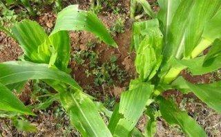 7月玉米钻心虫危害来袭,怎么防治效果好?