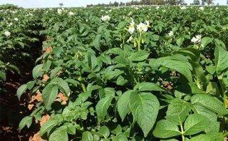 1140万亩!河北、黑龙江等地马铃薯晚疫病预计偏重发