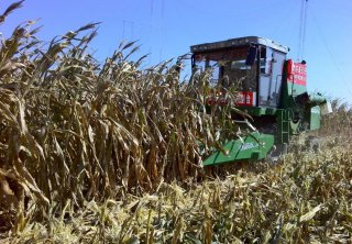 玉米适当晚收,每亩增产上百斤?如何确