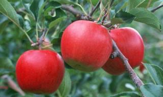 [艾力农] 苹果采摘前约7成果园已缺钙?怎
