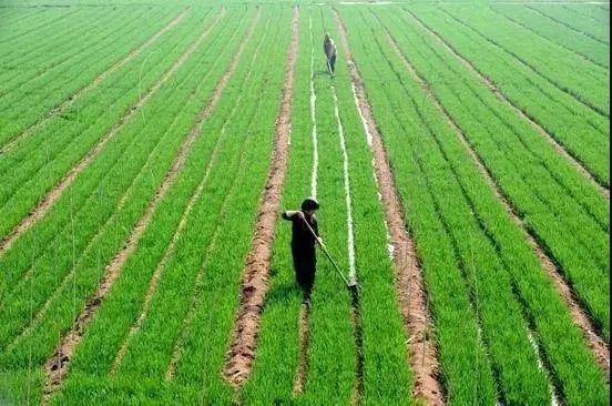 小麦播种量越多越高产?