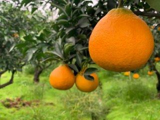 玛塔牡蛎钙助力四川柑橘增产增收