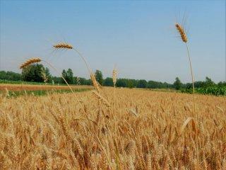 中储粮小麦收购价格出来了!