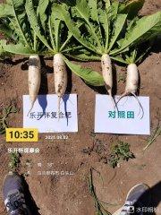 新洋丰乐开怀让萝卜每亩增产三千斤!